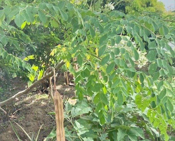 Moringa oleifera, graines, fleurs et feuilles
