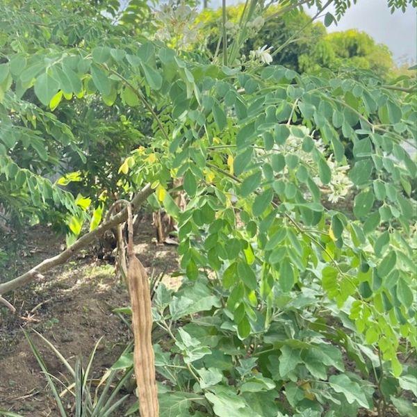 Moringa planté